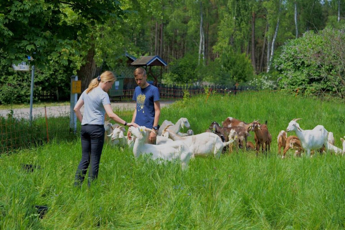 Kuršių nerijos pievas prižiūrės avys ir ožkos