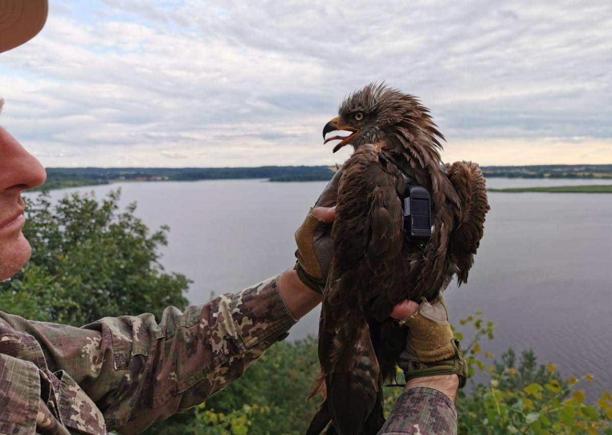 Šilutės rajone ženklinto plėšriojo paukščio siųstuvas siunčia signalus iš Prancūzijos