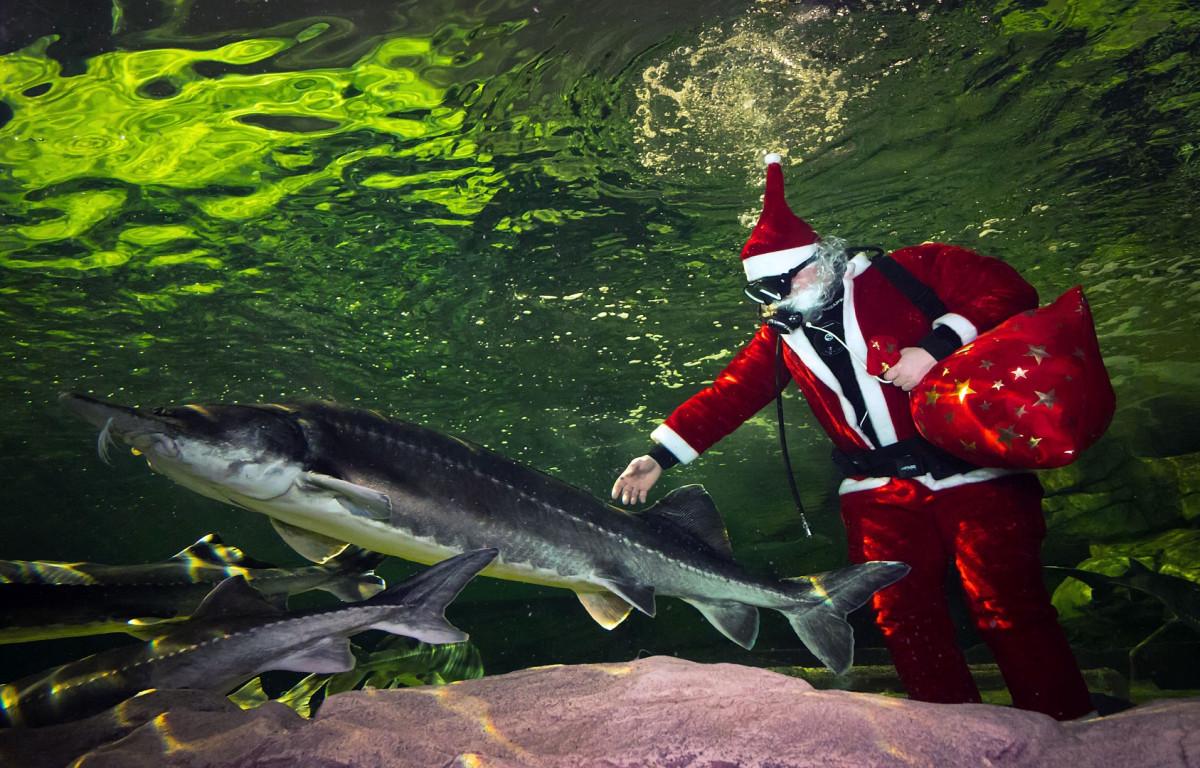 Klaipėdoje akvariume nardo Kalėdų senelis, veikia kalėdų paštas
