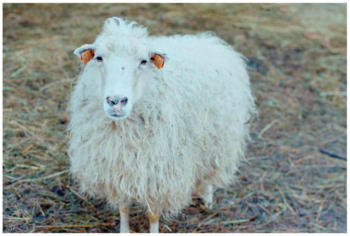 Į Nidą atvyko pirmoji avių banda