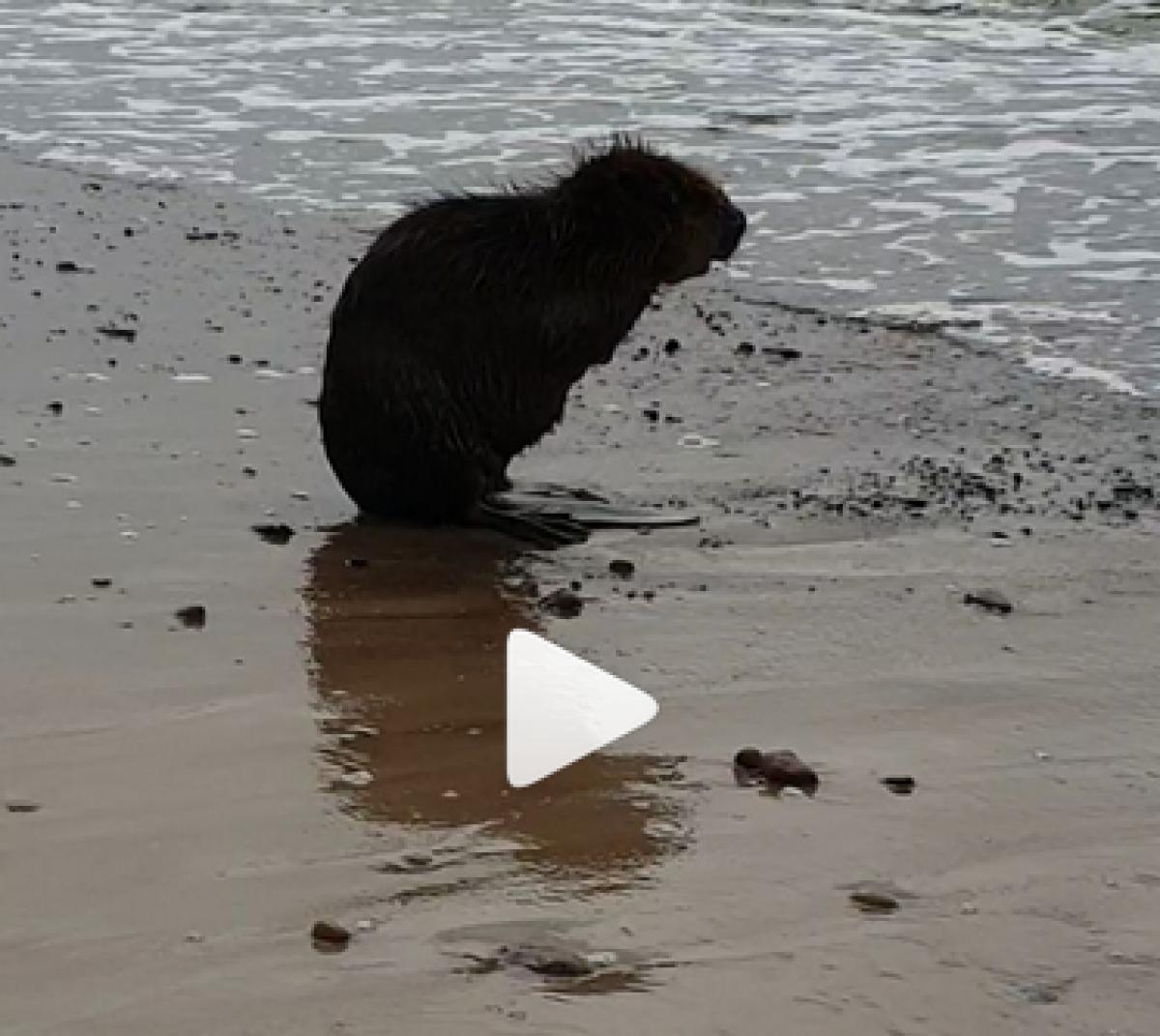 Neįtikėtinas vaizdas: prie jūros maudosi bebras (VIDEO)