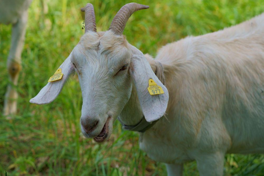 ganiava avys ožkos kuršių nerija